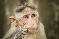 Mono de Macaque envejecido centro del capo foto de archivo libre de regalías