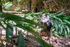 Mono de Macaque León-atado en su ambiente imagen de archivo libre de regalías
