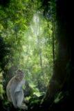 Mono de Macaque Long-tailed imagen de archivo libre de regalías