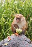 Mono de Macaque masculino dominante de la toca que alimenta en la sandía en el borde de la carretera en Sri Lanka fotografía de archivo