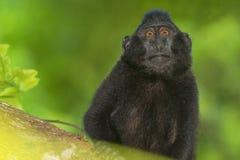 Mono de macaque negro con cresta mientras que le mira en el bosque Foto de archivo