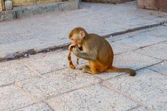 Mono de Macaque que come el plátano en Swayambhunath Stupa el mono fotos de archivo
