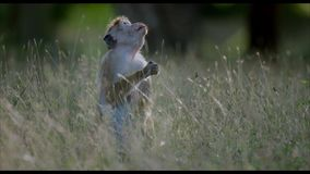 Mono de Macaque que come las frutas de higuera metrajes