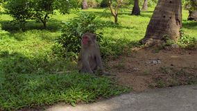 Mono de Macaque que se sienta en la tierra Isla del mono, Vietnam almacen de metraje de vídeo