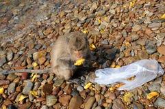Mono de macaque sorprendido Imágenes de archivo libres de regalías