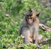 Mono de macaque sorprendido Imagenes de archivo