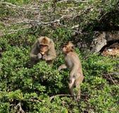 Mono de macaque sorprendido que mira la cámara Imágenes de archivo libres de regalías