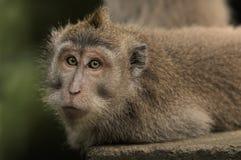 Mono de Macaques Foto de archivo libre de regalías