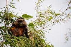 Mono de oro Foto de archivo libre de regalías