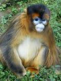 Mono de oro Fotos de archivo libres de regalías
