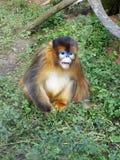 Mono de oro Imagen de archivo libre de regalías