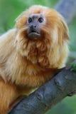 Mono de oro fotografía de archivo libre de regalías