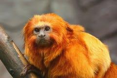 Mono de oro del Tamarin del león Imagenes de archivo