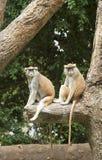 Mono de Patas Fotografía de archivo libre de regalías