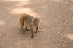 Mono de Pragnant en la tierra Imagen de archivo