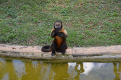 Mono de Prego Foto de archivo