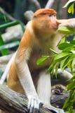 Mono de probóscide Imagen de archivo libre de regalías