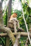 Mono de probóscide Fotos de archivo libres de regalías