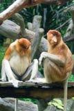 Mono de probóscide Fotografía de archivo