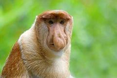 Mono de probóscide imagenes de archivo