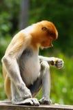 Mono de probóscide Imagen de archivo