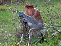 Mono de probóscide Imágenes de archivo libres de regalías