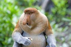 Mono de probóscide Foto de archivo libre de regalías