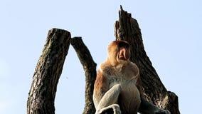 Mono de probóscide de cogida de la atención almacen de metraje de vídeo