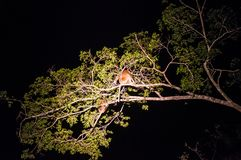 Mono de probóscide o sueño sospechado largo a del larvatus del Nasalis del mono Fotos de archivo libres de regalías