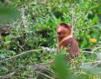 Mono de probóscide olfateado de largo Fotografía de archivo