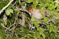 Mono de probóscide que come en un árbol Imágenes de archivo libres de regalías