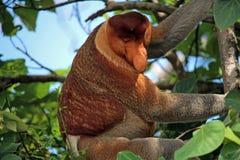 Mono de probóscide que sube un árbol Imagen de archivo