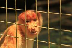 Mono de probóscide triste en una jaula Fotos de archivo