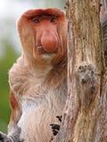 Mono de Probescis fotos de archivo libres de regalías