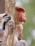 Mono de Probescis foto de archivo libre de regalías