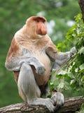 Mono de Probescis imagen de archivo