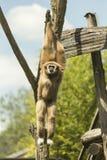 Mono de salto fotos de archivo