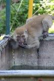 Mono de Songkhla fotografía de archivo