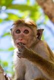 Mono de Sri Lanka fotos de archivo libres de regalías