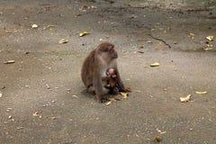 Mono de Tailandia Asia Fotografía de archivo libre de regalías