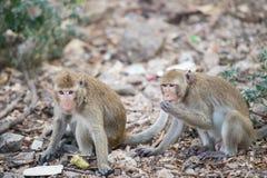 Mono de Tailandia de dos jóvenes que come un poco de comida en el piso Imágenes de archivo libres de regalías