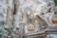 Mono de Tailandia de la vista lateral en la pared Imagen de archivo