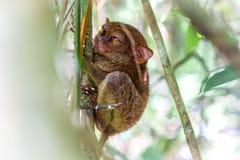 Mono de Tarsier Foto de archivo libre de regalías