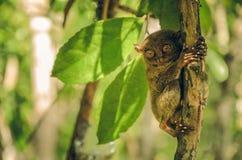 Mono de Tarsier en Tarsius Syrichta de Cebú, Filipinas Foto de archivo