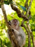 Mono de tomadura de pelo con su lengua pegada hacia fuera Imágenes de archivo libres de regalías