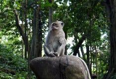Mono de Ubud que se sienta en una piedra foto de archivo libre de regalías
