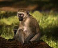 Mono de Vervet, África Fotos de archivo libres de regalías
