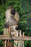 Mono de Vervet Imagenes de archivo