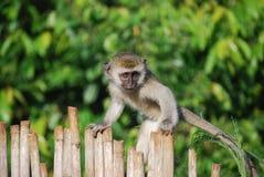 Mono de Vervet Fotos de archivo libres de regalías