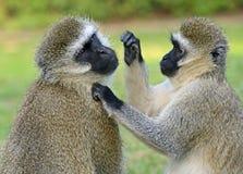 Mono de Vervet imagen de archivo libre de regalías
